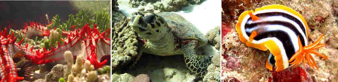 leuchtende Seesterne (links), eine Wasserschildkröte (Mitte) und eine Pyjamaschnecke (r.)
